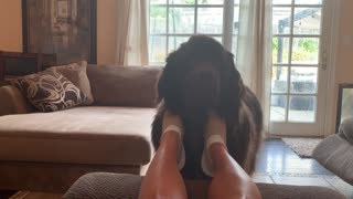 Newfoundland enjoys foot scratches, demands more