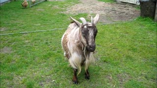 Whisper the Fainting Goat before delivery and after