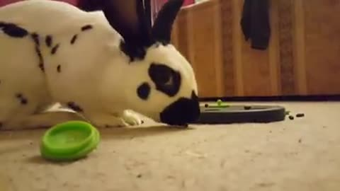 Bunny gets frustrated with feeder, totally smashes it