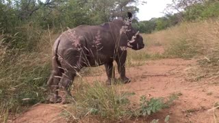 Baby Rhino Loves her Human - Video