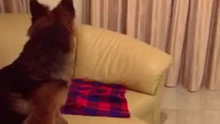 7 months gsd playing What the fluff challenge  - Video