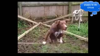 Puppies learn to circus - Video