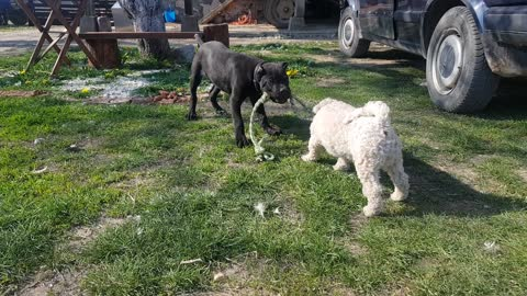Bichon Frise and Cane Corso puppy gameplay