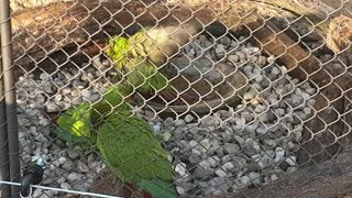 Parrots taking turns bathing