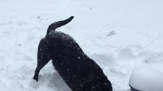 Labrador ecstatic to be playing in the snow