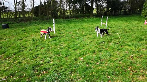 English Bull Terriers engage in epic spinning dance off