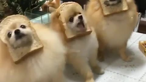check out my dogs funky style with toast bread