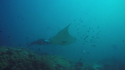 View of Two Manta Rays in the Maldives Islands - photographed by Meni Meller