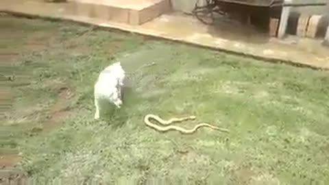 Dog and dangerous Snake Fight