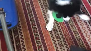 Black dog playing with soccer ball and vacuum