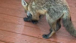 Friendly Fox Gets a Hand-Fed Treat