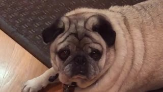 Music pug laying on floor mat in kitchen adele - Video