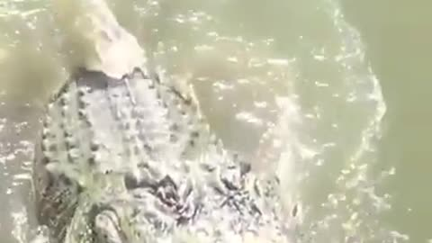 How to feed a crocodile