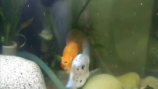 Fighting Between Fishes 魚 鬥