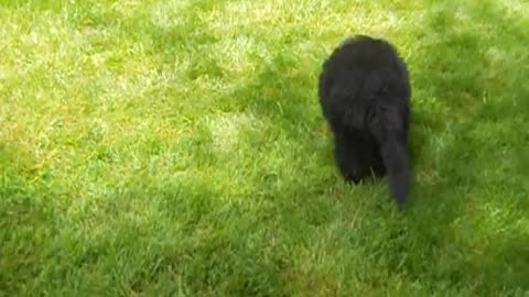 9-Week-Old Pack Of Newfie Puppies Tirelessly Chase A Tiny Dachshund