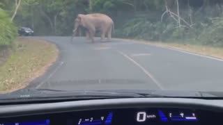 Wild Elephant Crosses Road Right in Front of Car