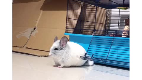 Chinchilla playtime will make you smile