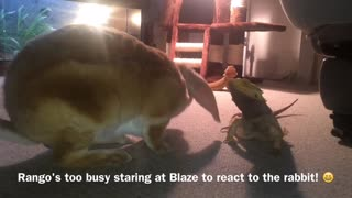 Bearded Dragon Lizard meets Rabbit Nose to Nose!
