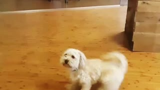 White dog jumps up and down and chases tail - Video