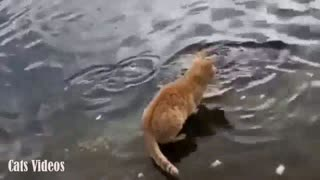 A Cat Trying To Catch Fish In The lake.