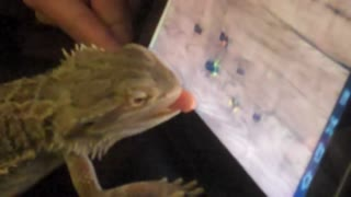 "My bearded dragon lizard playing ""ant crusher"""