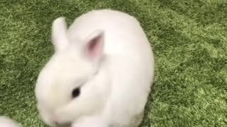 Cute rabbit have fun with a rabbit toy