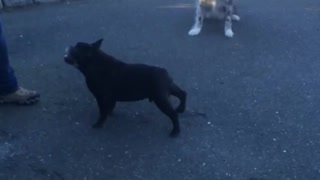 Small black dog makes weird noise - Video