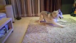 Husky running in circles while playing with owner