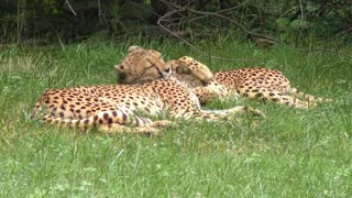 Two cheetahs are the best friends