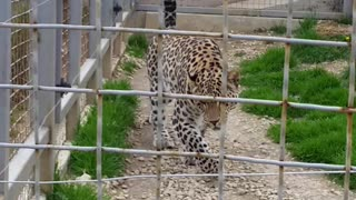 Agresiv  Leopard - Video
