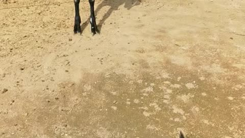 Dog being Scared of a Goat