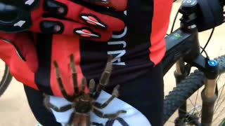 Giant Tarantula Climbs Up Cyclist's Leg - Video