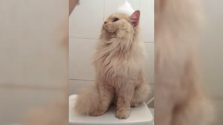Meet Meepo, the cat who loves to take showers