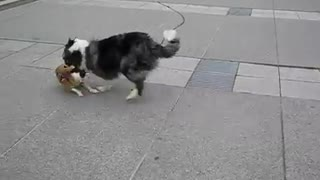Two Dogs playing friendly with each other - Video