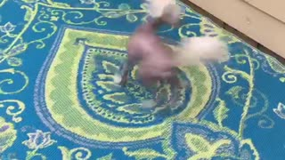 Small white tan dog spins in circles when its dinner time  - Video