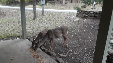 Caretaker trains new addition to her deer herd