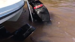 Black dog swimming in muddy water climbs onto boat