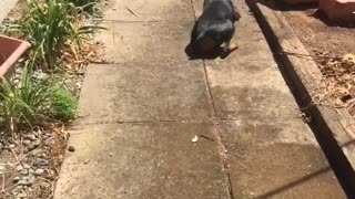 Dog playing with hose falls on it's back