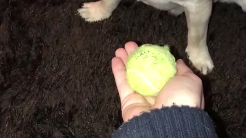 Can this Pug resist the ball?