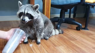 When Raccoon bites the ice cube, Rocket Raccoon's face comes out
