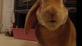 Rude Bunny Does a Massive Burp  - Video