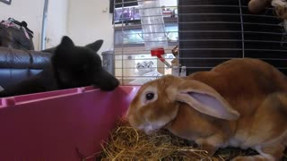 Bunny totally uninterested in puppy's affection - Video