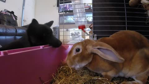 Bunny totally uninterested in puppy's affection
