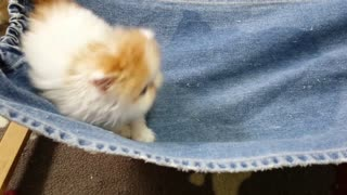 Adorable Persian Kitten Playing Together ! - Video