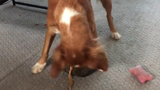 Kitten Finally Gets the Dog to Play with Her