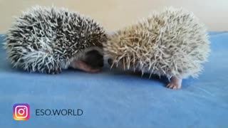 Hedgehog siblings adorably play together