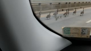 Geese family escorted across 5 mile bridge by monster truck