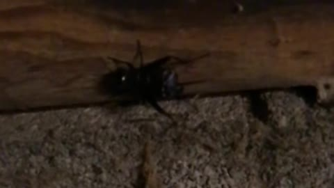 Field Cricket Chirping in Slow Motion