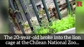Lion Suicide Attempt - Video