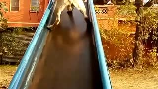 Dog invented new sliding method in his first attempt on slides.  - Video